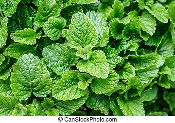 mint melissa plant nature green