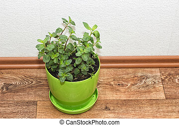 mint plant growing in a pot