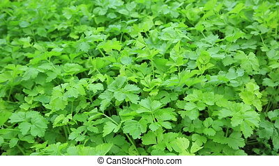 mint plant grown at garden