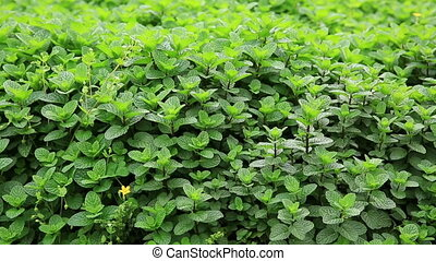 mint plant grown at garden - mint plant grown at vegetable...