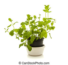 Mint plant in a pot on white background