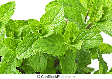 Mint plant on the white