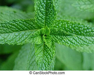 Mint plant - Fresh green mint plant close-up