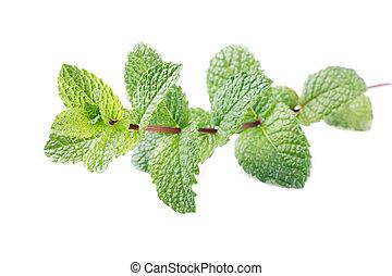 mint stem mentha spicata isolated on white