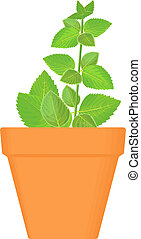 mint vector culinary herb in terracotta pot. Green growing....