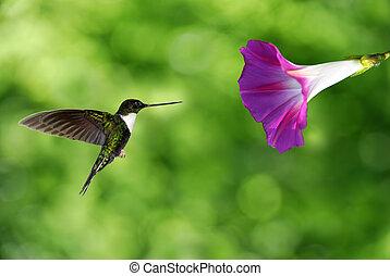 minuscule, colibri, planer, dans plein vol