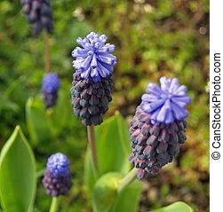 minuscule, groupe, fleurs, hyacinthes raisin, dans, a, jardin