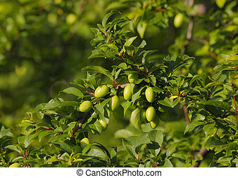 Mirabelle plum branch with unripe fruits. Europe, Poland,...