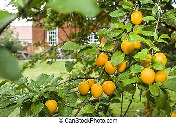 Mirabelle plum fruit tree in UK garden