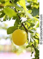 Mirabelle yellow plum fruit in its tree