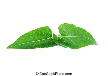 Mirabilis jalapa Leaf on the white background