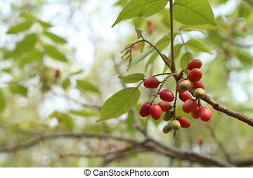 Miracle fruit tree