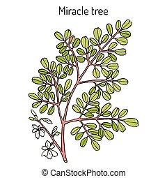 Miracle tree Moringa oleifera , medicinal plant. Hand drawn...