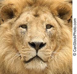 mirada, león, majestuoso