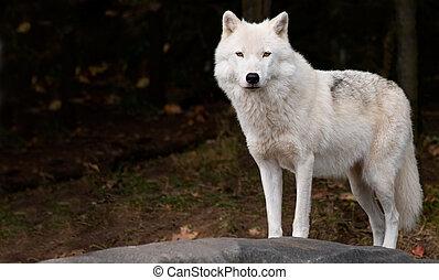 mirar, ártico, cámara, lobo