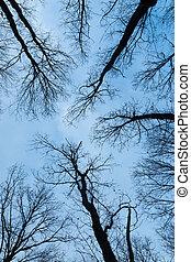 mirar arriba, el, roble, árboles, en, invierno