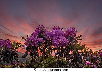 mirar arriba, rododendro, flores, con, ocaso