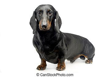 Cuadrado, retratos, casta, perro, frente cámara, vario