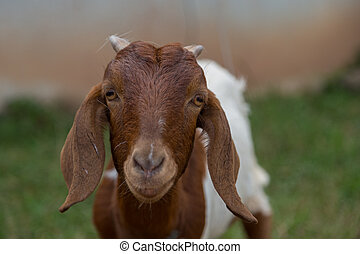 mirar, cámara, marrón, goat, encantador, naturaleza, verde
