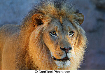 mirar, dorado, león, derecho