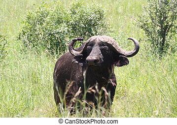 mirar fijamente, búfalo