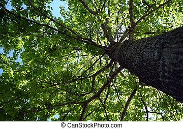 mirar hacia arriba, en, árbol, follaje
