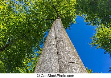 mirar hacia arriba, en, el, corona, de, un, alto, árbol