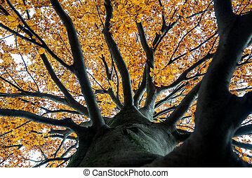 mirar hacia arriba, en, el, dosel, de, un, otoño, árbol