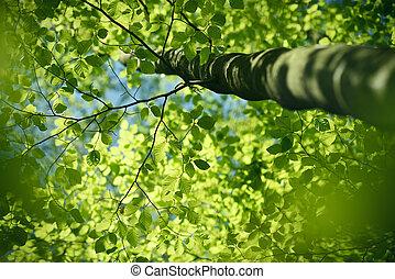 mirar hacia arriba, en, el, haya, con, fresco, verde, primavera, hojas