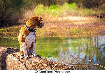 mirar, lakeside., casta, perro, sentado, espalda, sabueso,...