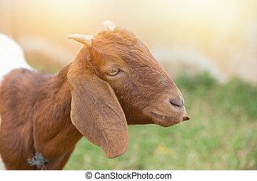 mirar, naturaleza, encantador, verde, cámara, marrón, goat
