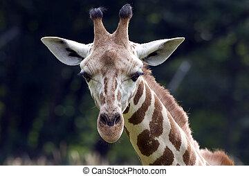 mirar, usted, jirafa