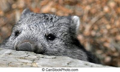 mirar, wombat, encima, cerca, furtivo