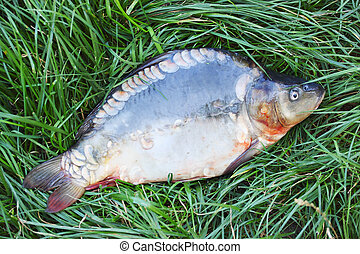 mirror carp on the grass