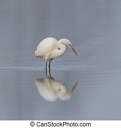 mirrored great white egret (ardea alba) standing in shallow water