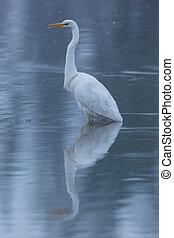 mirrored great white egret (egretta alba) standing in water during snowfall