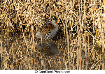 mirrored water rail (Rallus aquaticus) standing in water with reed