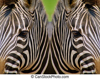 Mirrored image of zebras depicting concept of black and white diversity.