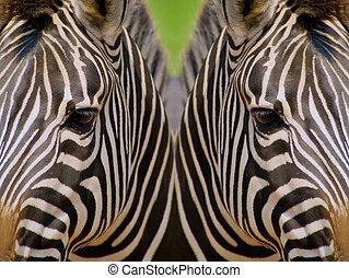 Mirrored Zebras - Mirrored image of zebras depicting concept...