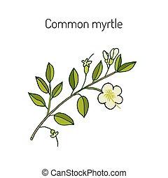 mirto, o, myrtus, communis