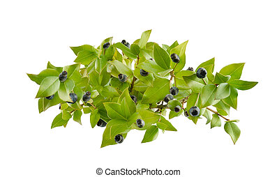 Mirto - myrtle berries and branch isolated on white