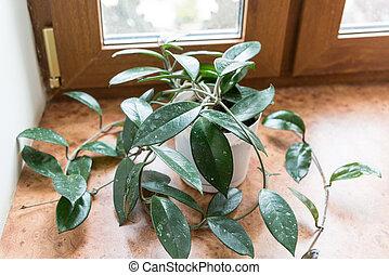 misère, pot, rebord fenêtre, vert