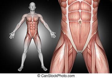 mis valeur, 3d, mâle, muscles, figure, abdominal, monde médical
