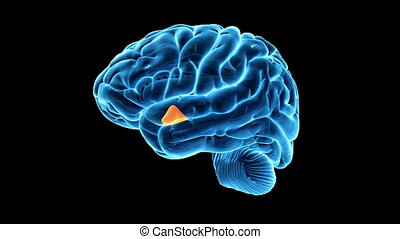 mis valeur, hypothalamus