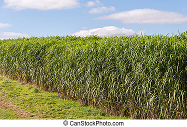miscanthus giganteus - biomass crop - miscanthus giganteus- ...