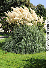 Miscanthus sinensis or Chinese silver grass is a grass ...