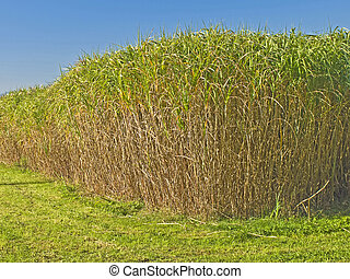 Miscanthus,switchgrass - The renewable resource switchgrass...