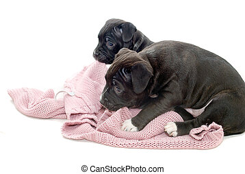 Mischievous Puppies biting a jersey.