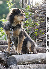 Miserable dog - Miserable and hungry chained dog in the...