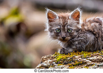 Beautiful but pitiful gray lost kitten looking at the photographer